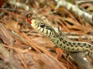 Snake in the grass speaks with forked tongue.