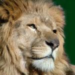 The noble Lion, Aslan